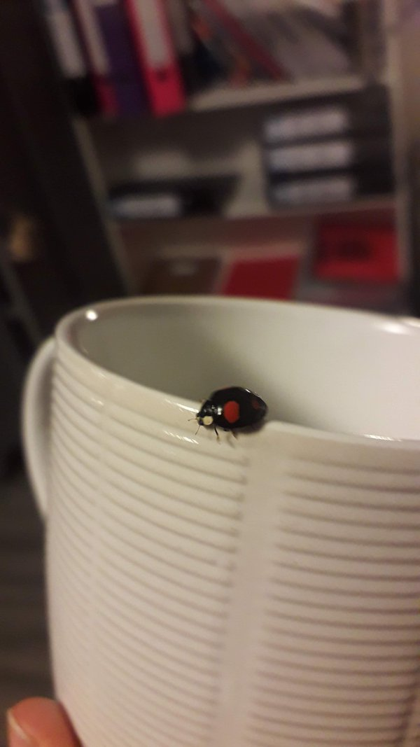 Black ladybird on a white cup thumbnail