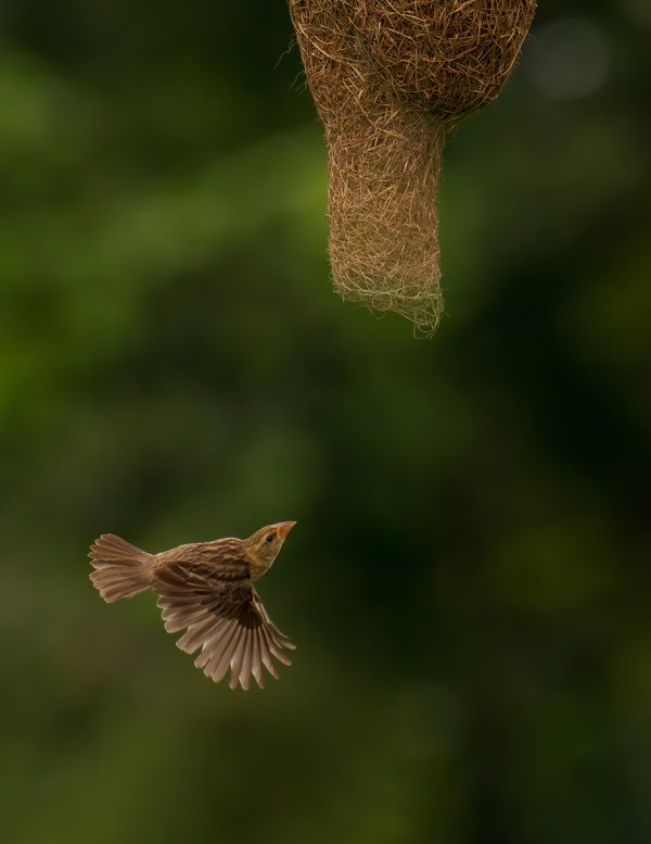 A Weaver bird heading for home thumbnail