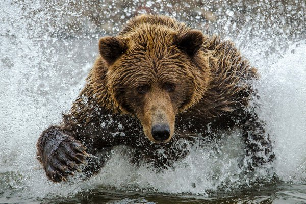 May I take your order.A coastal brown bear or grizzly chases a silver salmon across the creek inlet.  She briefly gazes up to catch my eye. thumbnail