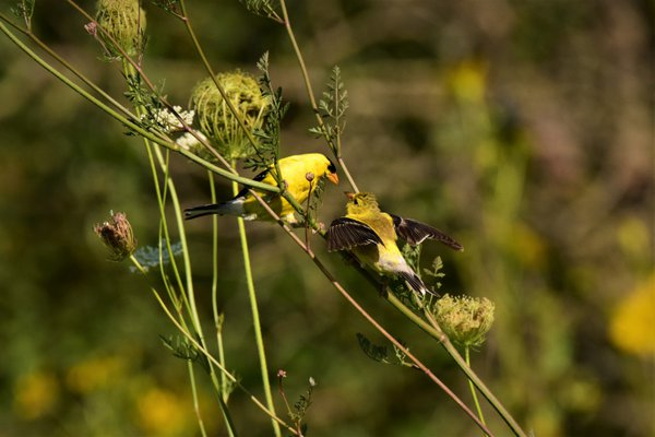 Goldfinch Feeding Baby on Queen Anne's Lace thumbnail