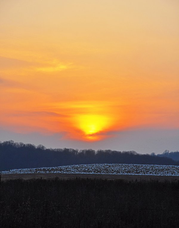 Snow geese at sunset, a la Turner. thumbnail
