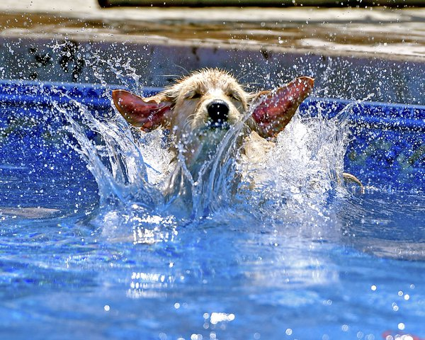 Golden Retriever Jumping Into A Pool thumbnail