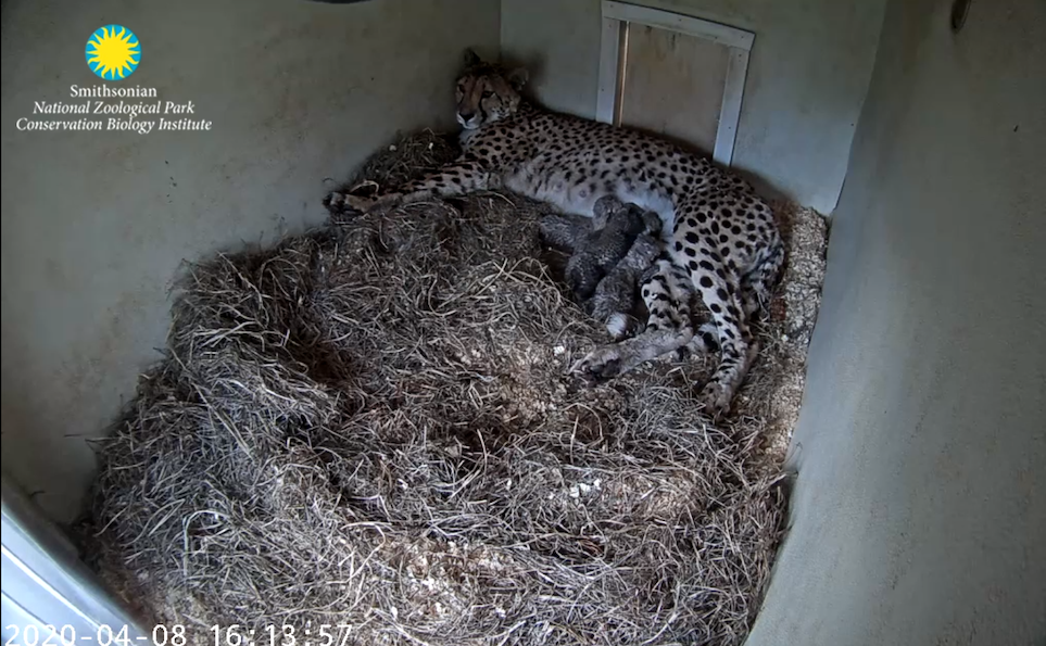 A screengrab of the Cheetah Cub Cam, where a mother cheetah can be seen nursing her four young cubs in a small den layered with hay.