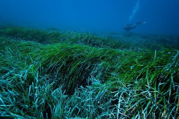Posidonia oceanica seagrass