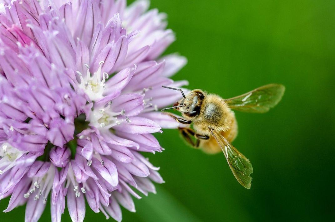Yellow bee on purple flower
