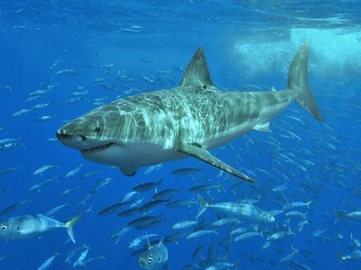 A great white shark pictured off the coast of Mexico in 2006