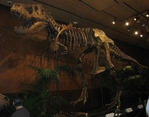20110520083150Tyrannosaurus-Rex-skeleton-Samson-520-300x237.jpg