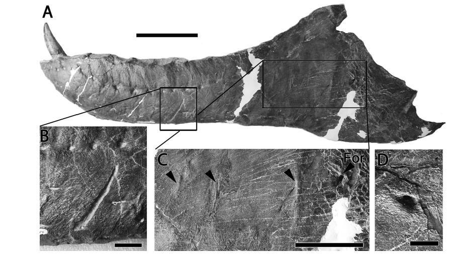 20110520083319albertosaurus-jaw-pathologies.jpg