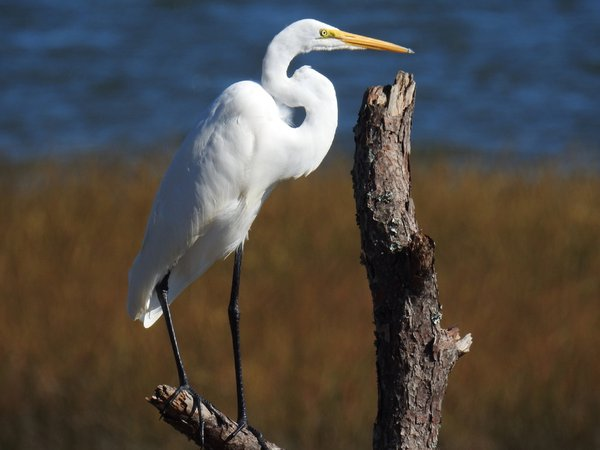 Great White Heron thumbnail
