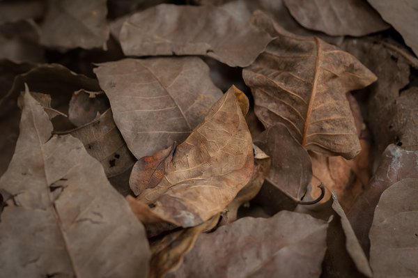 Camouflage Of A Lappet Moth thumbnail