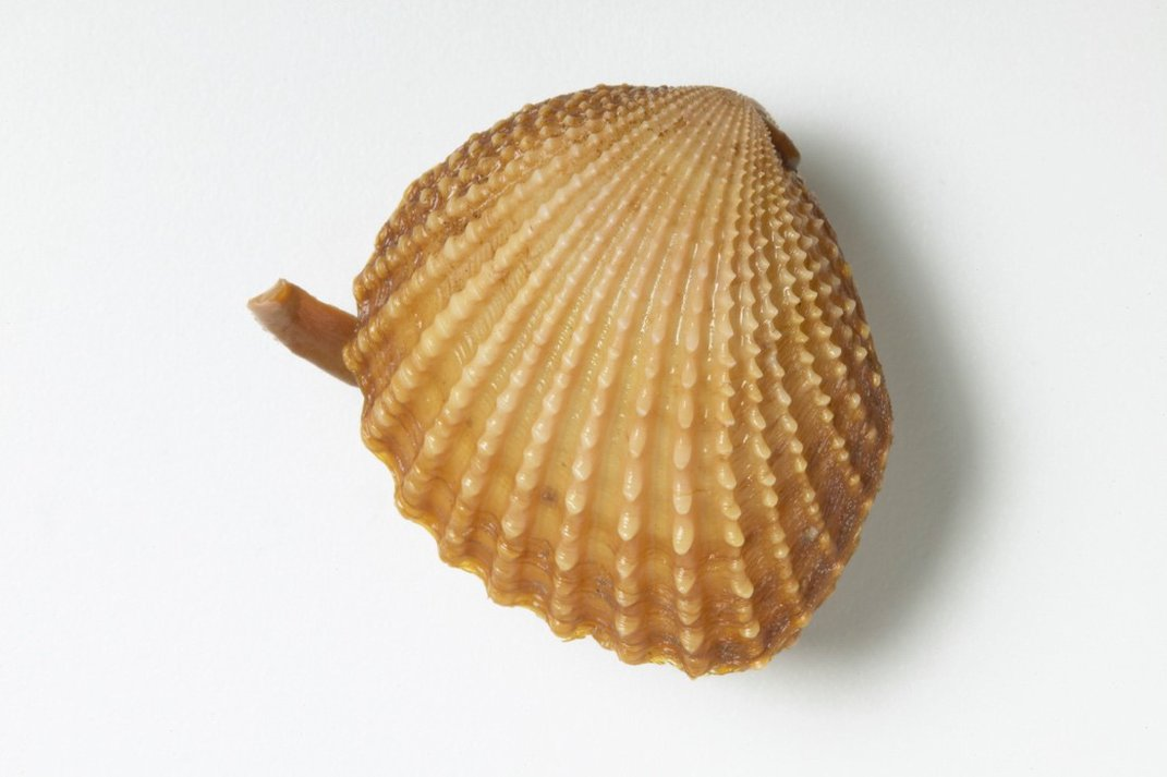 A beige fossil shell on a white background.