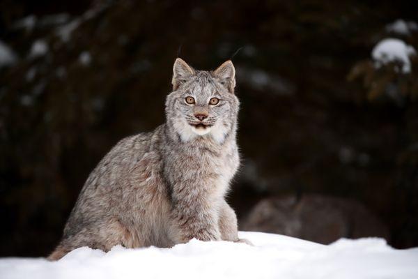 Canada Lynx Kitten in Northern Ontario, Canada. thumbnail