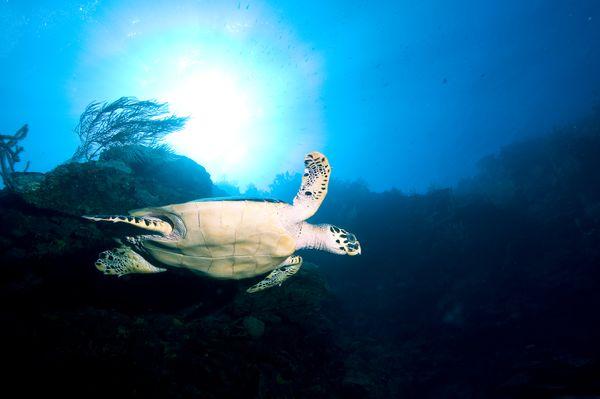 Hawksbill turtle thumbnail