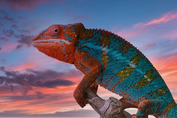 Panther Chameleon at Sunset thumbnail