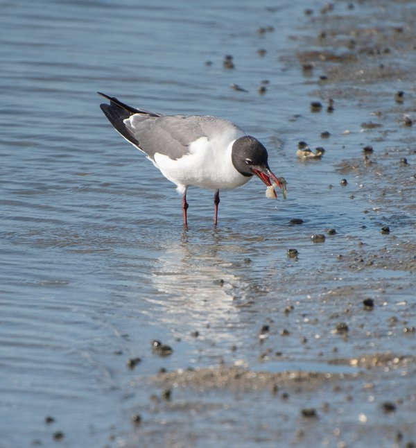 Seagull's Got Crabs thumbnail