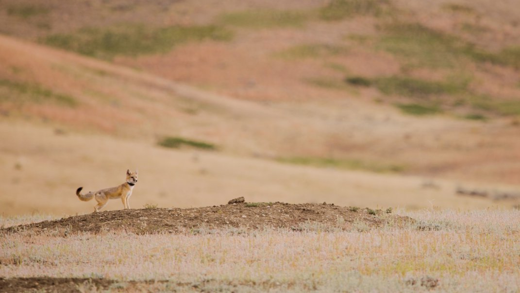 A swift fox with a small body and bushy tail stands on a small hill on an open prairie landscape on Fort Belknap Indian Reservation in Montana. The fox is wearing a GPS collar.