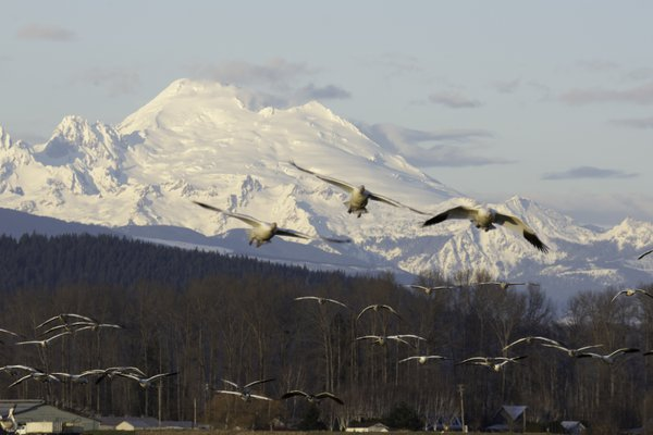 Snow Geese over Mount Baker thumbnail