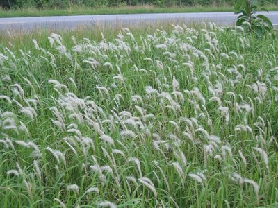 Cogongrass in bloom during early summer.