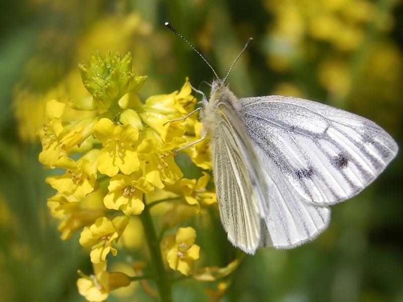 Butterfly on Mustard Plant