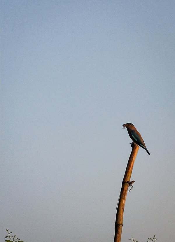 Indian Roller with a Frog in its mouth. thumbnail