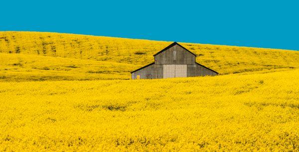 Fields of Yellow thumbnail