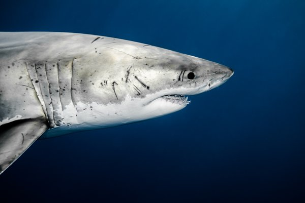 Great white shark portrait. thumbnail