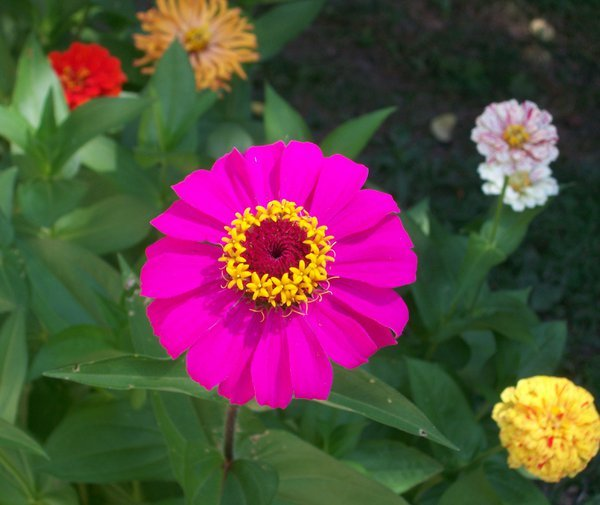 Candy Cane Zinnia Minus the Variegated Look thumbnail