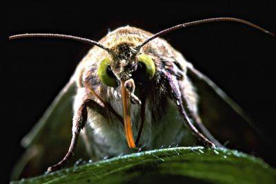 The pest in question, Helicoverpa zea, the bollworm moth