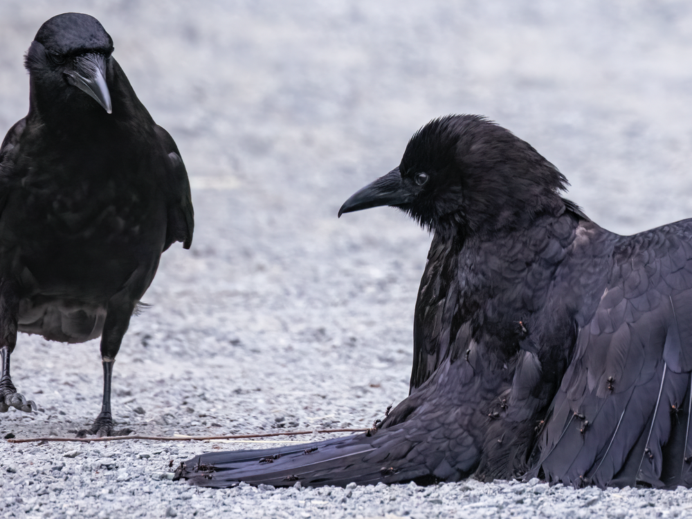 One crow looks on from the left side of the image as another crow squats to the ground, wings outstretched like a cloak as dozens of ants climb its feathers