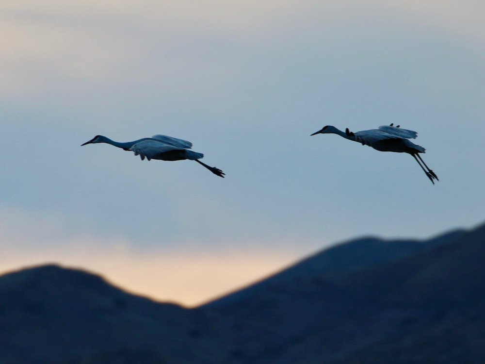 Two sandhill cranes fly by a hill range