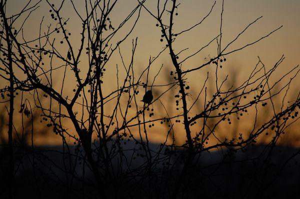 Bush and Bird Silhouette at Dusk  thumbnail