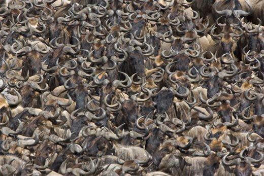 20110520102406Wildebeest-herd-gathered-10.jpg