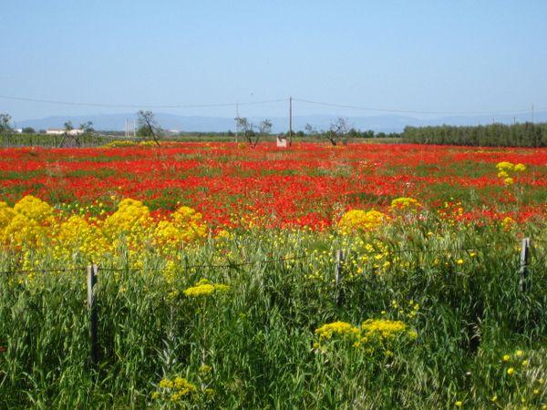 Poppies along the autostarda in Puglia thumbnail