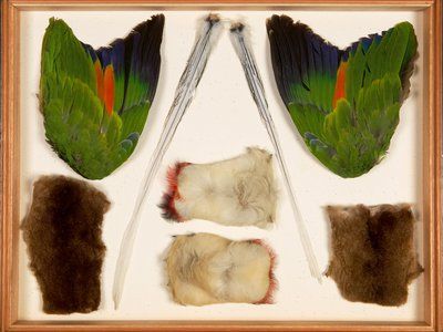 Mid-19th Century specimens collected in Latin America by Alfred Russel Wallace include parrot wings and marsupial pelts.