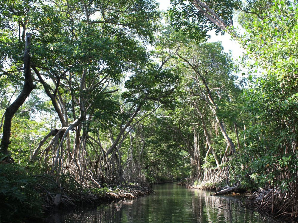 Mangroves line a channel connecting the Belize River to the coastal lagoon system. These trees are hundreds of years old and provide important habitat to both terrestrial and marine species. (Steve Canty, Smithsonian Marine Station)