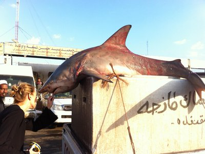 Researchers often depend on fishing communities to learn what life is like for sharks out in the deep ocean.