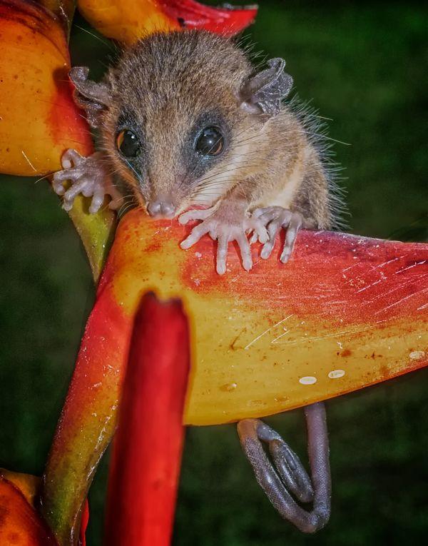 Mouse Possum thumbnail