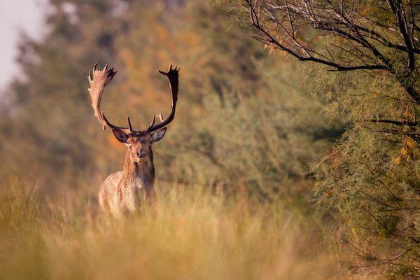 The fallow deer thumbnail