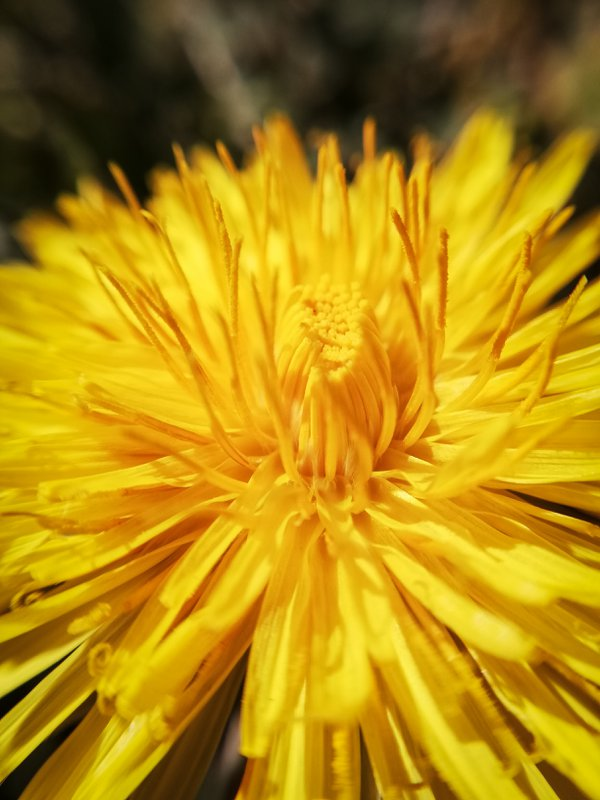 Close-up of a dandelion in the garden during corona time thumbnail