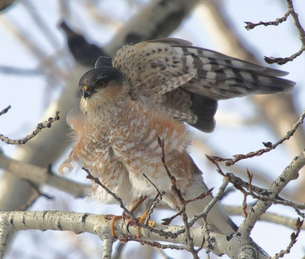 Sharp-shinned Hawk in the backyard thumbnail