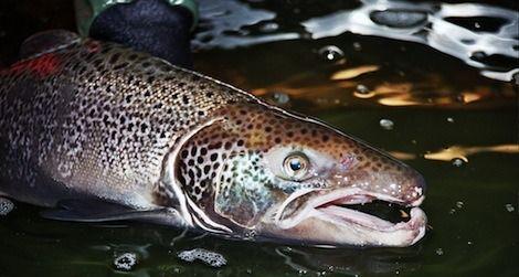 A male Atlantic salmon