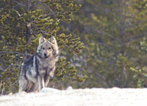 20110520104108quebecwolf-300x216.jpg