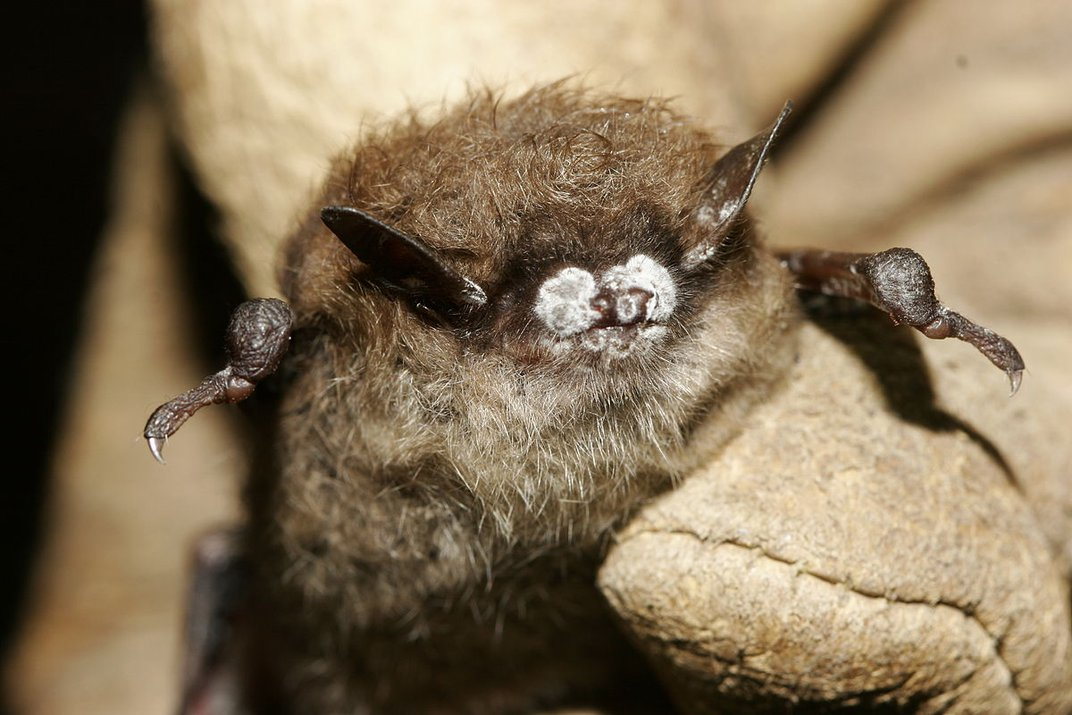 The Little Brown Bat's Mighty Talent