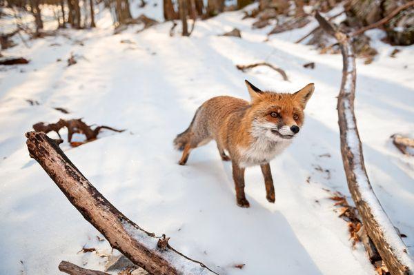 A very curious fox thumbnail