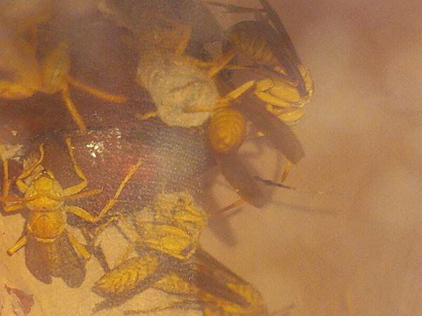 Wasp making their hive.. thumbnail