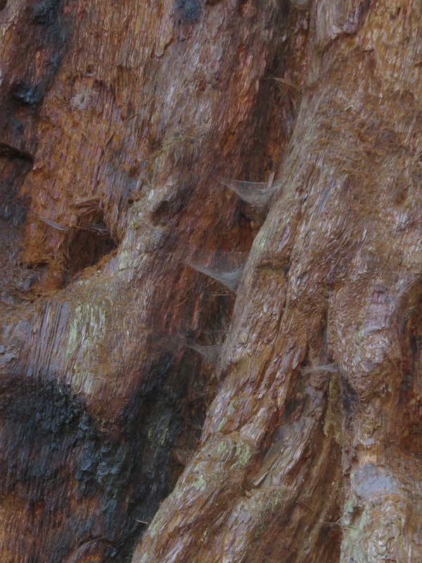 Sequoia Grooves thumbnail