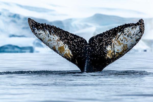 Whale Tail thumbnail