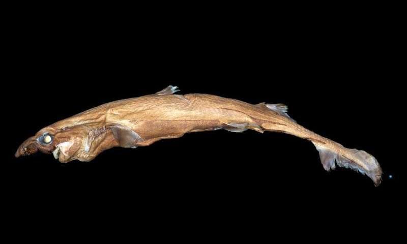 Lantern Shark