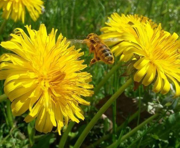 Honey bee in mid-flight between two dandelions. thumbnail
