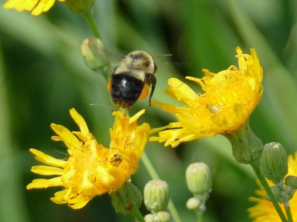 Bumble Bee with pollen sacs collecting pollen thumbnail